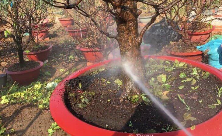 Phun nước rửa thân cây mai