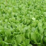 Mách bạn cách trồng cải ăn non an toàn, đơn giản tại nhà