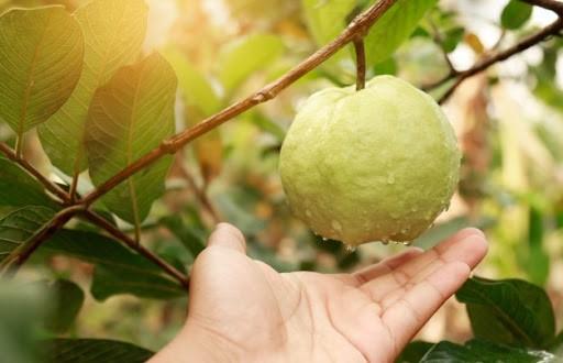 Sử dụng dịch trùn quế cho cây ăn quả