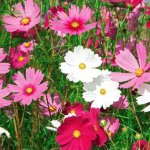Kĩ thuật trồng hoa sao nhái với đất sạch hữu cơ Orgamix