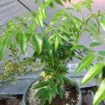 Top 6 loại cây ăn quả trồng chậu ở Miền Nam cho trái quanh năm