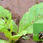 Phương pháp phòng trừ bọ cánh cứng, bọ nhảy, bọ xít hại cây trồng hiệu quả nhất