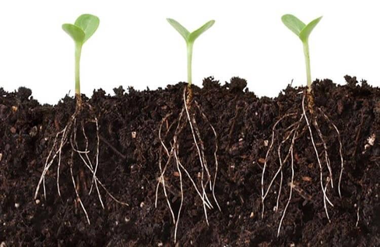 Acid Humic giúp rễ cây phát triển tốt hơn
