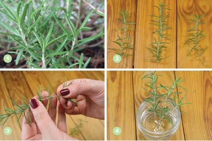 Hướng dẫn cách giâm cành hương thảo