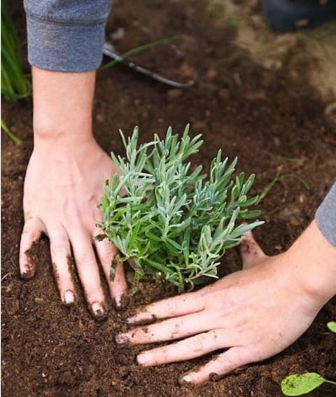 Đất trồng hương thảo cần tơi xốp, thoát nước tốt