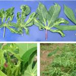 Tìm hiểu về tác hại và cách phòng tránh bệnh khảm trên cây trồng
