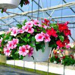 Các loài hoa trồng chậu ở Sài Gòn cho hoa quanh năm