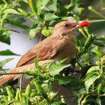 Các biện pháp đuổi chim cho vườn rau trên sân thượng