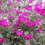 Các loại hoa dễ trồng cho màu tím mộng mơ
