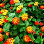 Trồng hoa ngũ sắc cho khu vườn thêm rực rỡ