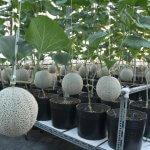 Cách trồng dưa lưới thơm ngọt, trĩu quả tại nhà