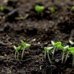 Trồng rau có nên bón phân gà vi sinh không?