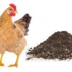Tác dụng tuyệt vời của phân gà đối với cây trồng