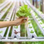 Trồng rau thủy canh tại nhà đơn giản và hiệu quả