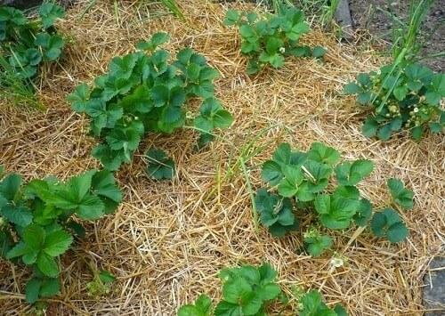 Rơm khô phủ bề mặt cây trồng