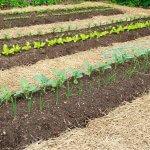 Vai trò của lớp phủ hữu cơ đối với cây trồng và sự phục hồi của đất trồng