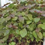 Tía Tô - cây rau thơm, cây thuốc quý giúp bổ phổi, ngăn ngừa cảm cúm