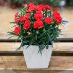 Kỹ thuật trồng hoa Cẩm Chướng trong chậu
